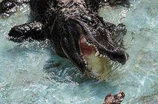 لحظاتی ترسناک از مرگ فجیع انسان توسط تمساح غولپیکر + فیلم