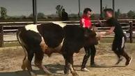 سرگرمی بی رحمانه چینیها با گاوها