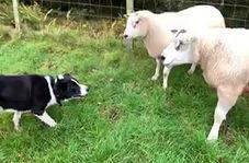 روش منحصر به فرد یک چوپان برای انتقال گوسفندان به داخل حصار!