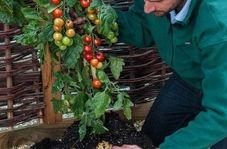 گیاهی که همزمان دو میوه متفاوت میدهد