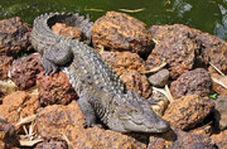 تمساح بزرگ درون خانه روستاییان چابهار!