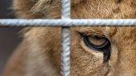 حمله شیر به یک مرد از داخل قفس
