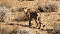 تازهترین تصاویر ثبت شده از پوزپلنگ آسیایی در پارک ملی توران
