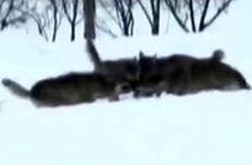 لحظه حمله گرگها و شکار یک خرگوش در خرمدره