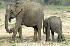 حمله فیل به روستاییان حین خارج کردن بچه فیل از چاله