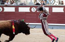 زجرکش کردن گاو در فرهنگ اسپانیاییها + فیلم(۱۸+)