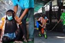 شامپانزهها هم در ضدعفونی کردن باغ وحش شرکت کردند