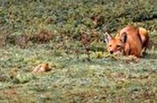 شکار حرفهای موش کور توسط گرگ گرسنه