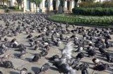 صحنهای عجیب از حضور صدها کبوتر در وسط شهر