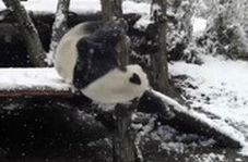 خوشحالی عجیب پانداها از بارش برف در چین
