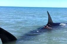 کوسه نهنگ غولپیکر ۱۹ متری مهمان ناخوانده سکوی نفتی فروزان خلیج فارس