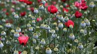محصولات مزارع بی انتهای خشخاش افغانستان آماده برداشت