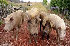 از بین بردن بیش از ۱۱۰ هزار خوک در رومانی به دلیل شیوع تب خوکی آفریقایی