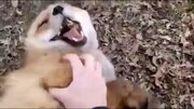 روباهها هم قلقلکی هستند