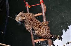 نجات یک پلنگ از چاه سی متری!