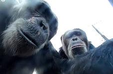شامپانزه با شعور دسته سلفی را به صاحبش بازگرداند!