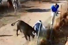 حمله مرگبار گاو خشمگین به یک تماشاچی!