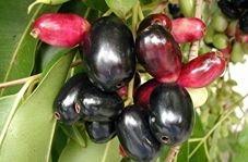 کشت ۳۰۰ ساله میوه بومی هند و اندونزی در نیکشهر