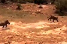 اقدام شجاعانه گراز در نجات دادن فرزندش از دهان پلنگ