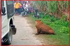 وحشت ساکنان محلی با دیدن پلنگ در روستا