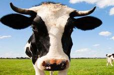 فرار یک گاو از له شدن در زیر قطار