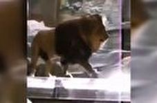 حمله شیر دست آموز به مربیاش در باغ وحش