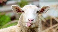 در هواپیمای گوسفندان چه گذشت؟