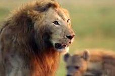 وقتی یک شیر در گله کفتارها تنها میماند!