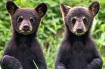 بازی کردن جالب دو توله خرس در وسط جاده