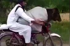 قاچاق گاو از هند به پاکستان با موتورسیکلت! + فیلم