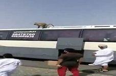 حمله میمون ها به کاروان عمره گذاران عمانی