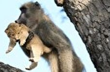 اقدام باورنکردنی میمون پس از دزدیدن توله شیر!