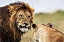 ترس باورنکردنی ۲ شیر بالغ از یک مرد میانسال!