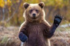 تلاش یک زوج برای کمک به یک خرس