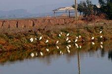 عبور پرندگان مهاجر از زمستان در شوشتر
