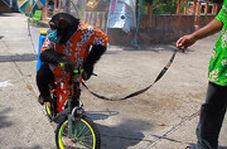 سوء استفاده از یک شامپانزه برای ضدعفونی کردن معابر!
