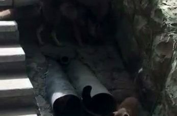 اختصاصی/گردش دسته جمعی روباهها در شهرک امید تهران