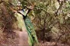 ویدئویی جالب از پرواز حیرت انگیز طاووس در جنگل