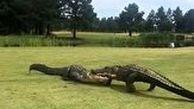 نزاع دو ساعته دو تمساح در زمین گلف