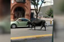 گاوی که یک شهر را به هم ریخت