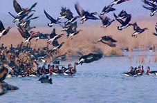 مهاجرت بیش از سه هزار پرنده آبزی به تالاب یوسفکند مهاباد
