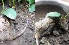 گیاهی که روی گردن موش بیچاره رشد کرد!