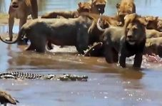 صحنهای جالب از چشم داشت کروکودیل به طعمه شیرهای جنگل