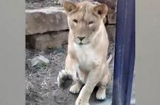 لحظات غافلگیرانه حمله حیوانات به انسان + فیلم
