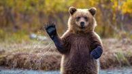 دستبرد خرس به اداره پلیس