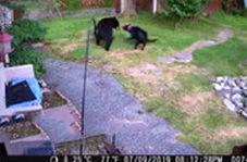 حمله سگ خانگی به خرس سیاه گرسنه
