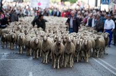 رژه گوسفندان در خیابانهای مادرید!