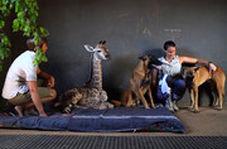 مراقبت یک سگ از زرافه یتیم