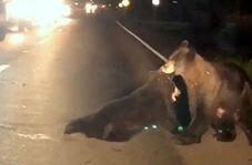 تلاش خرس مادر برای نجات تولهاش از وسط جاده