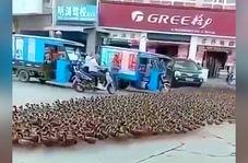 ترافیک طولانی مدتی که هزار اردک برای خودروها ایجاد کردند